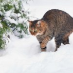 tabby cat walking in deep snow